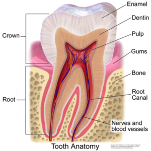 Tooth-Atatomy